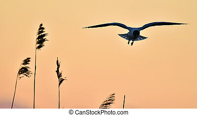 kokmeeuw, ridibundus), ondergaande zon , achtergrond, (larus