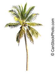 kokosnöt träd, isolerat, palm, bakgrund, vit