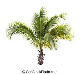 kokosnöt träd, ung, isolerat
