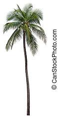 kokosnød træ, isoleret, håndflade, baggrund, hvid