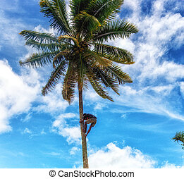 kokosnüsse, fijian, mann, bekommen, baum- klettern