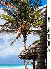 kokosnüsse, palme