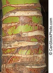 kokosnuß- baum, badehose