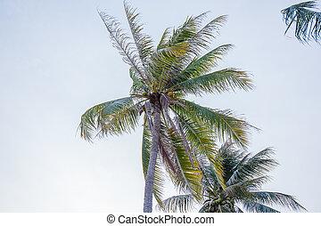 kokosowe drzewo