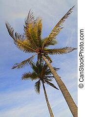 kokospalm, bomen