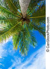 kokospalme, bäume, schöne , tropische , hintergrund