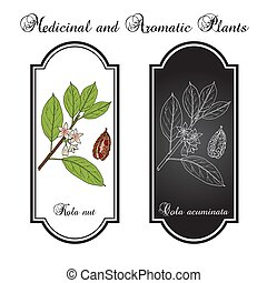 Kola nut Kola acuminata , medicinal plant. Hand drawn botanical vector illustration