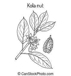 Kola nut ola acuminata , medicinal plant. Hand drawn ...