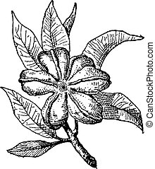 kolabaum, oder, kolabaum, sp., weinlese, stich