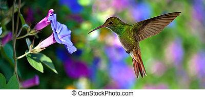 kolibrie, (archilochus, colubris), tijdens de vlucht, op, purpere bloemen