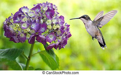 kolibrie, hortensia, het hangen