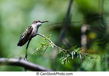 kolibrie, kleverig, zijn, tong uit