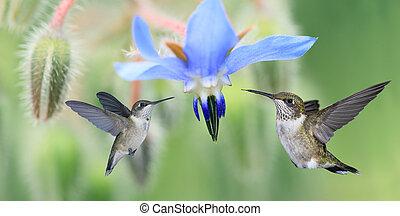 kolibrie, twee