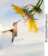 kolibrie, zonnebloem, concept.
