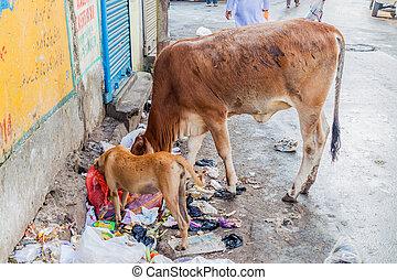 KOLKATA, INDIA - OCTOBER 30, 2016: Cow and a dog eat trash at a street in the center of Kolkata, Ind