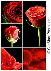 kollázs, közül, különféle, piros rózsa