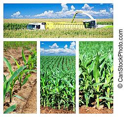 kollázs, közül, kukorica, képben látható, a, mező