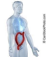 kolon, man, lateral, anatomi, isolerat, ställning, synhåll