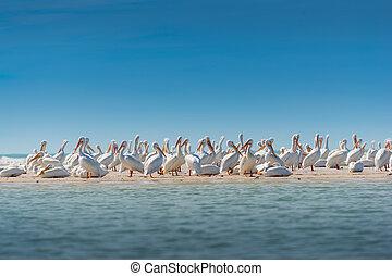 kolonia, pelikan, biały