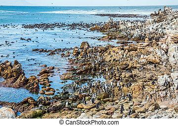 kolonie, keien, penguin