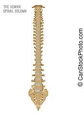 kolonn, rygg, mänsklig