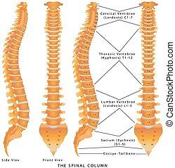 kolonn, ryggrads