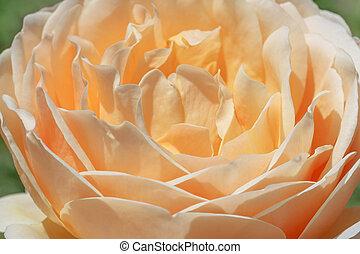 kolor, róża, śmietanka, do góry szczelnie