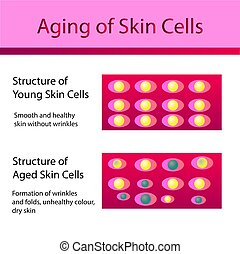 komórki, młody, dwa, skóra, sędziwy, typy