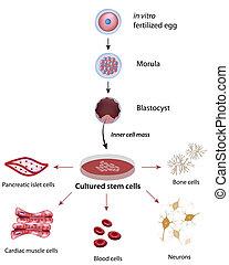 komórki, pień