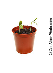 komkommer, seedlings