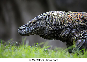 Komodo Dragon. Bali zoo, Indonesia