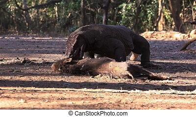 Komodo Dragon bite the victim. - The victim of Komodo...