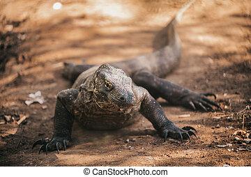 Komodo dragon. national park indonesia. flores. labuan bajo. fullhd video