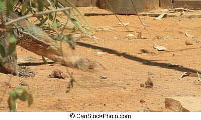 Komodo dragon hunts a rat