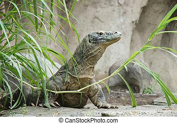 Komodo dragon Varanus komodoensis is the biggest living lizard in the world. Indonesia.