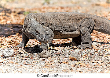 Komodo Dragon walking in the wild on Komodo Island