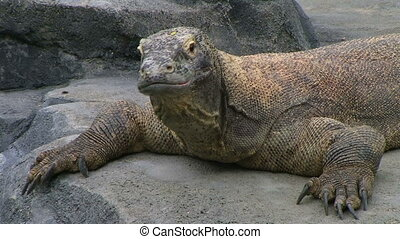 Komodo Dragon Yawning - Komodo dragon yawning, largest...