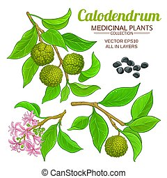 komplet, calodendrum, wektor