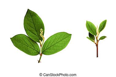 komplet, liście, gałązki, zielony, mały, świeży