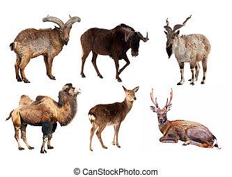 komplet, od, artiodactyla, ssak, zwierzęta