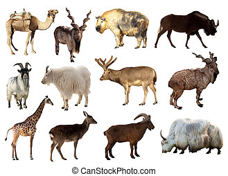 komplet, od, artiodactyla, zwierzęta