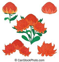 komplet, waratah, flower., telopea, krzak, australijski, variou, albo, krajowiec