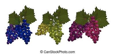 komplet, winogrona, odizolowany, wektor, tło, biały