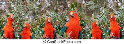 konge, headed, papegøjer, australsk, mandlig, rød