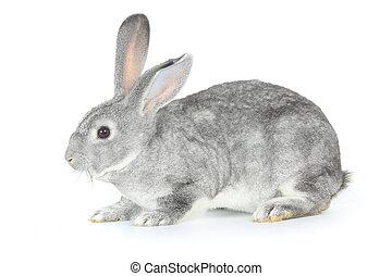 konijn, grijs