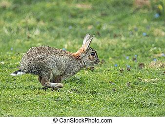 konijn, rennende