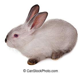 konijn, vrijstaand, op, een, witte , achtergrond.