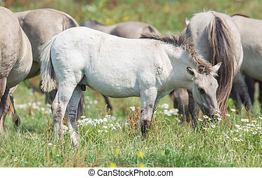 Konik foal with mature wild horses in the background,...