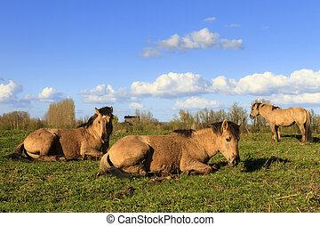 konik, pferden, wageningen