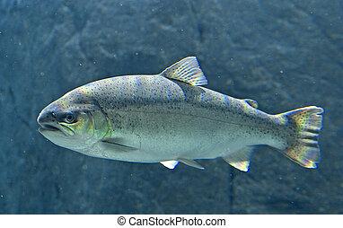 koning, salmon